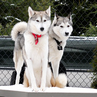 Best in Snow Dogs